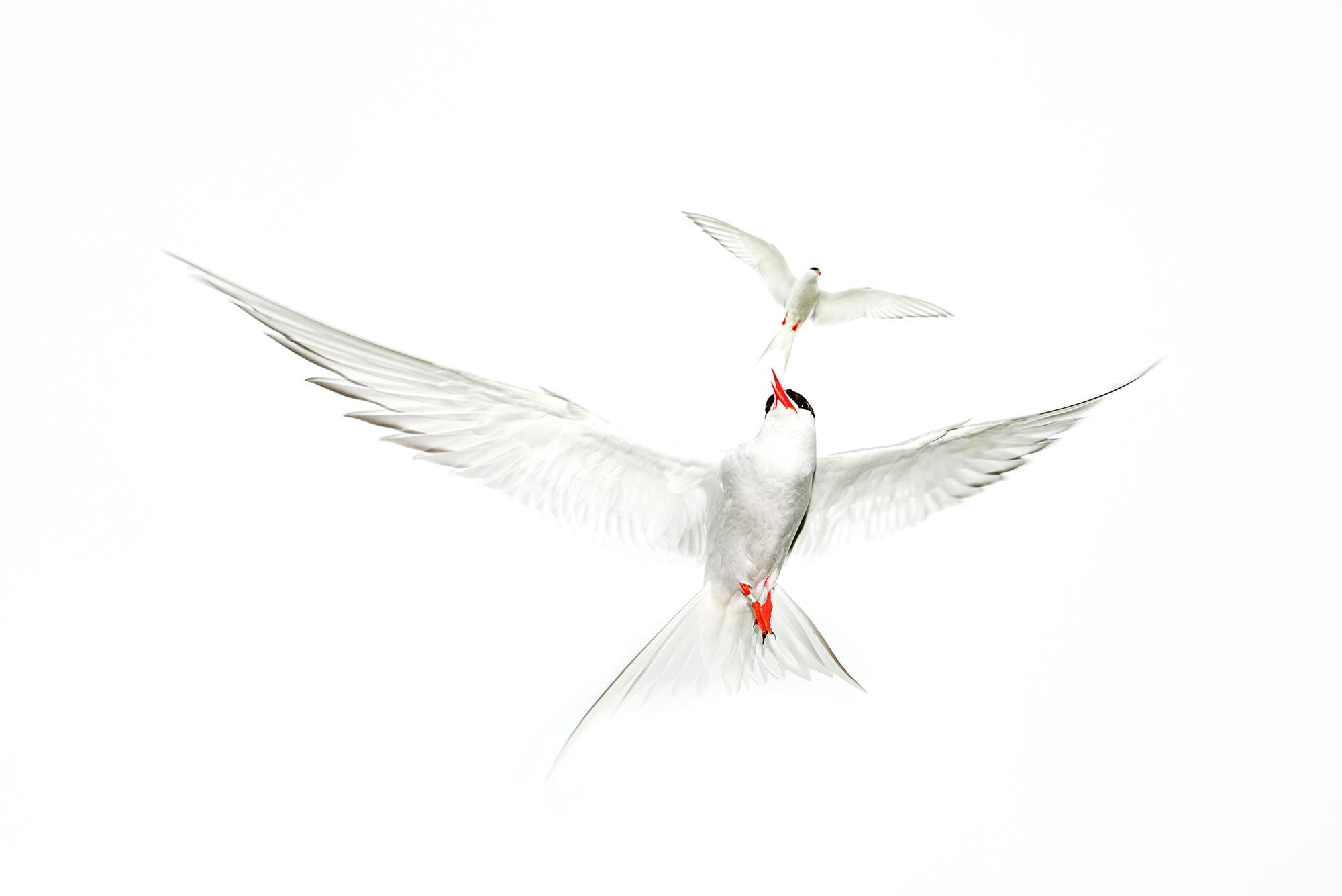 Terns Dance - Ignacio Medem - Portfolio Natural, Fotografía de Naturaleza de Autor