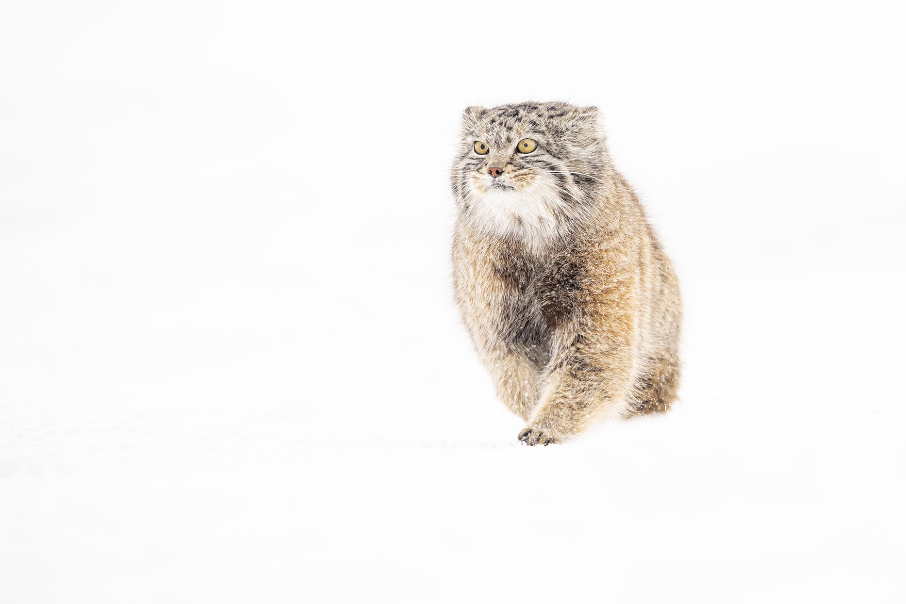 Pallas Cat - Ignacio Medem - Portfolio Natural, Fotografía de Naturaleza de Autor