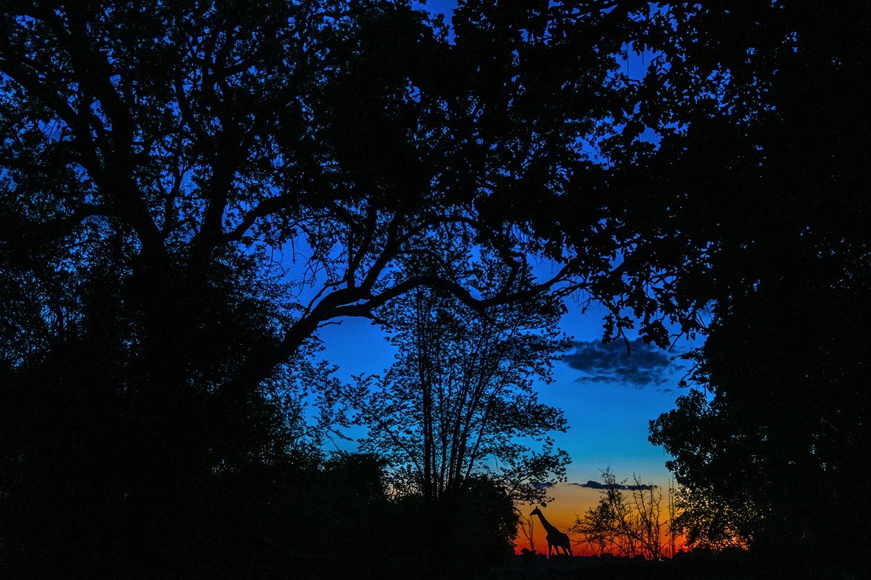 Giraffe at Sundown - Ignacio Medem - Portfolio Natural, Fotografía de Naturaleza de Autor