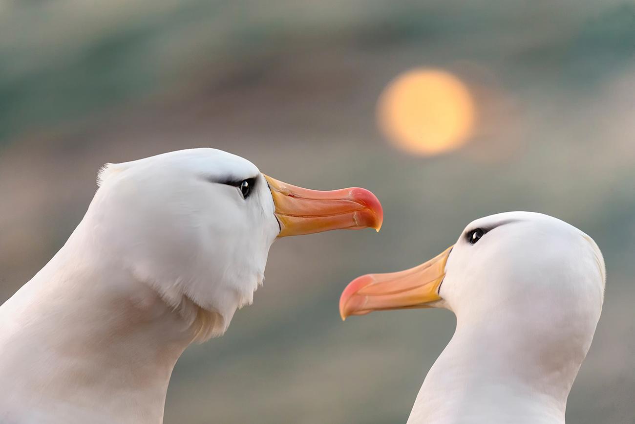 DARÍO PODESTÁ - Albatros in love - Darío Podestá - Portfolio Natural, Fotografía de Naturaleza de Autor