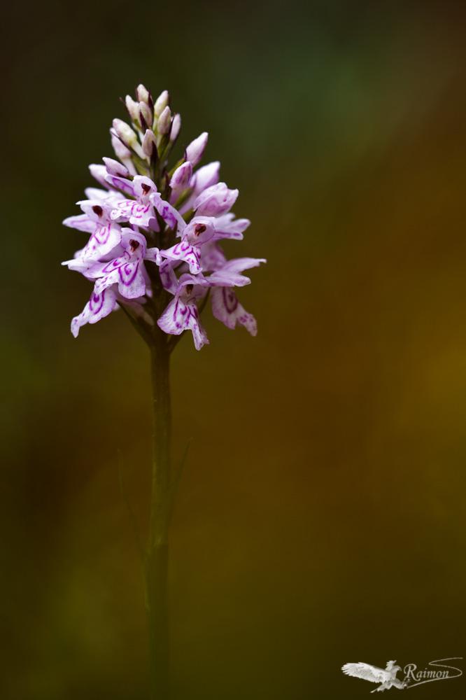 Orquídeas - Raimon Santacatalina | Orquídeas