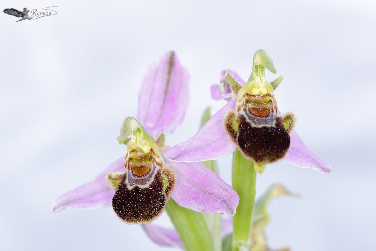 Orquídeas - Raimon Santacatalina   Orquídeas