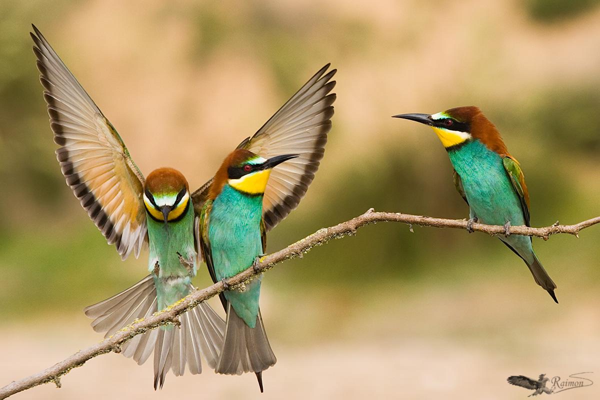Finalista en el Concurso Internacional de Fotografía de Naturaleza Oasis Photo Contest - 2015 (ITALIA) categoría aves - Fauna - Raimon Santacatalina | Fauna
