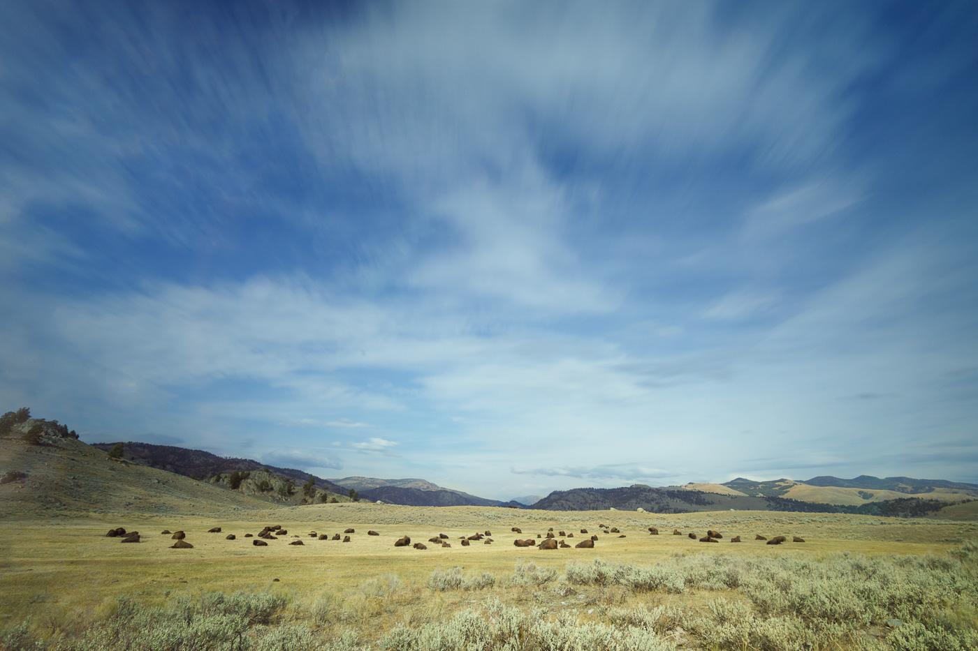 Herd of bison getting rest - Paisatges de Nord-Amèrica - Raül Carmona - Fotografia, Fotografia d'estudi, esdeveniments i Natura
