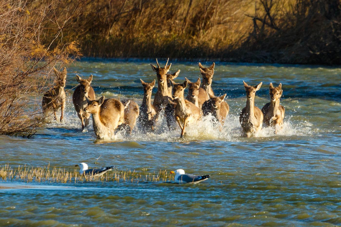 Estampida de daines - Fauna salvatge - Raül Carmona - Fotografia, Fotografia d'estudi, esdeveniments i Natura