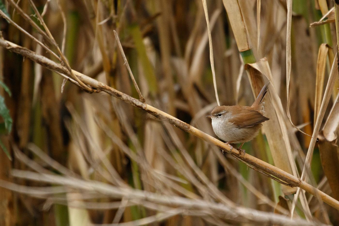 Rossinyol bord - Fauna salvatge - Raül Carmona - Fotografia, Fotografia d'estudi, esdeveniments i Natura