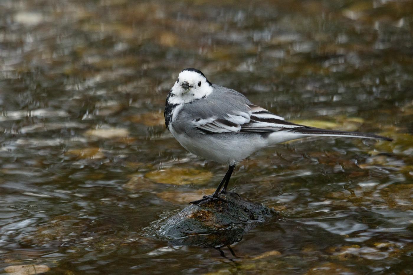 Cuereta blanca - Fauna salvatge - Raül Carmona - Fotografia, Fotografia d'estudi, esdeveniments i Natura