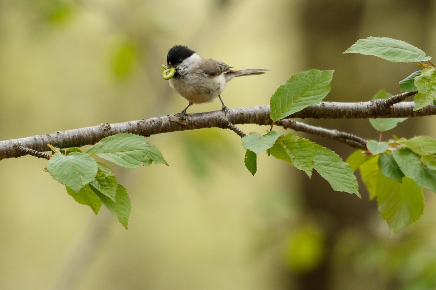 Mallerenga petita - Fauna salvatge - Raül Carmona - Fotografia, Fotografia d'estudi, esdeveniments i Natura