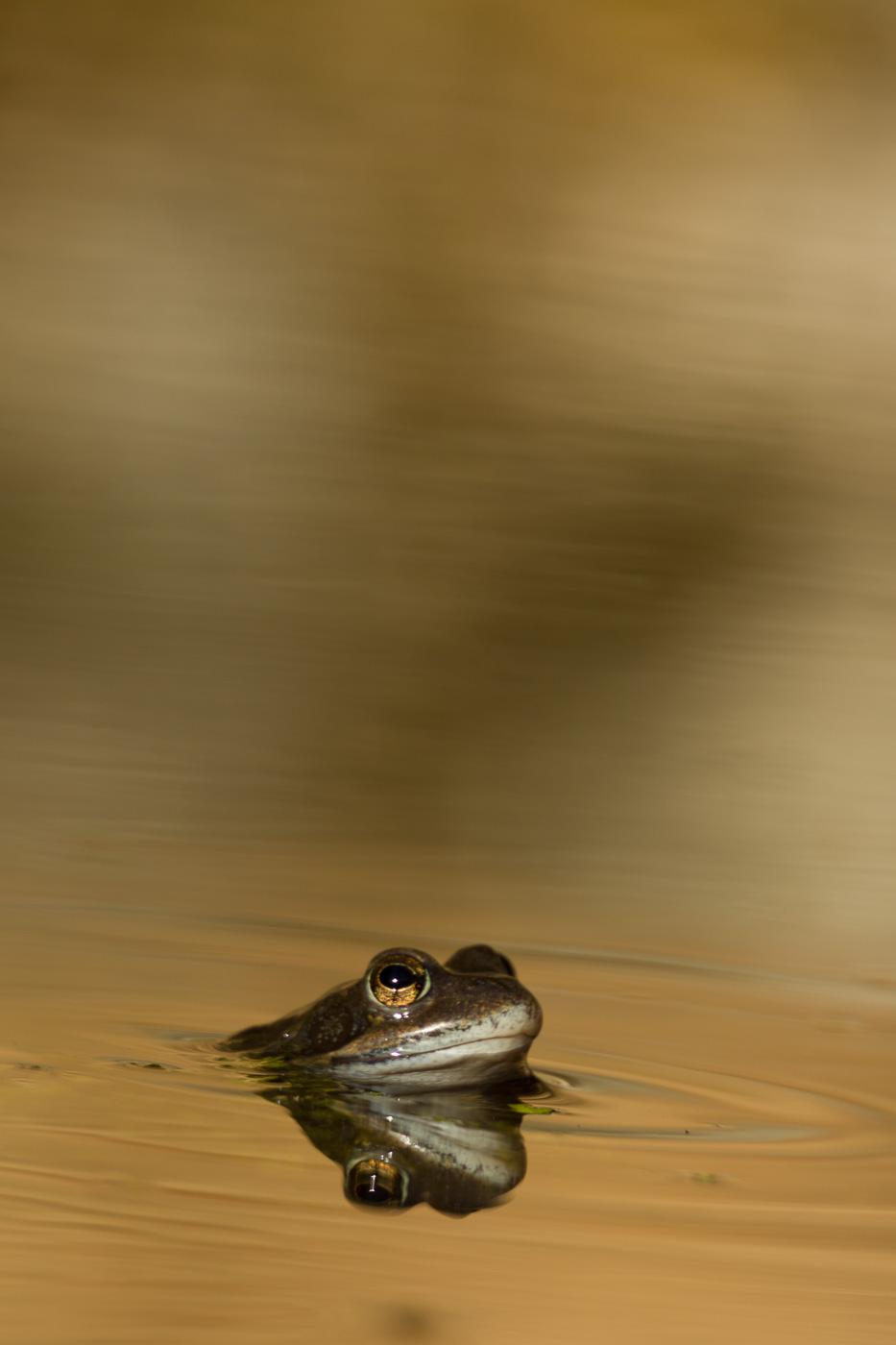 Granota roja - Fauna salvatge - Raül Carmona - Fotografia, Fotografia d'estudi, esdeveniments i Natura