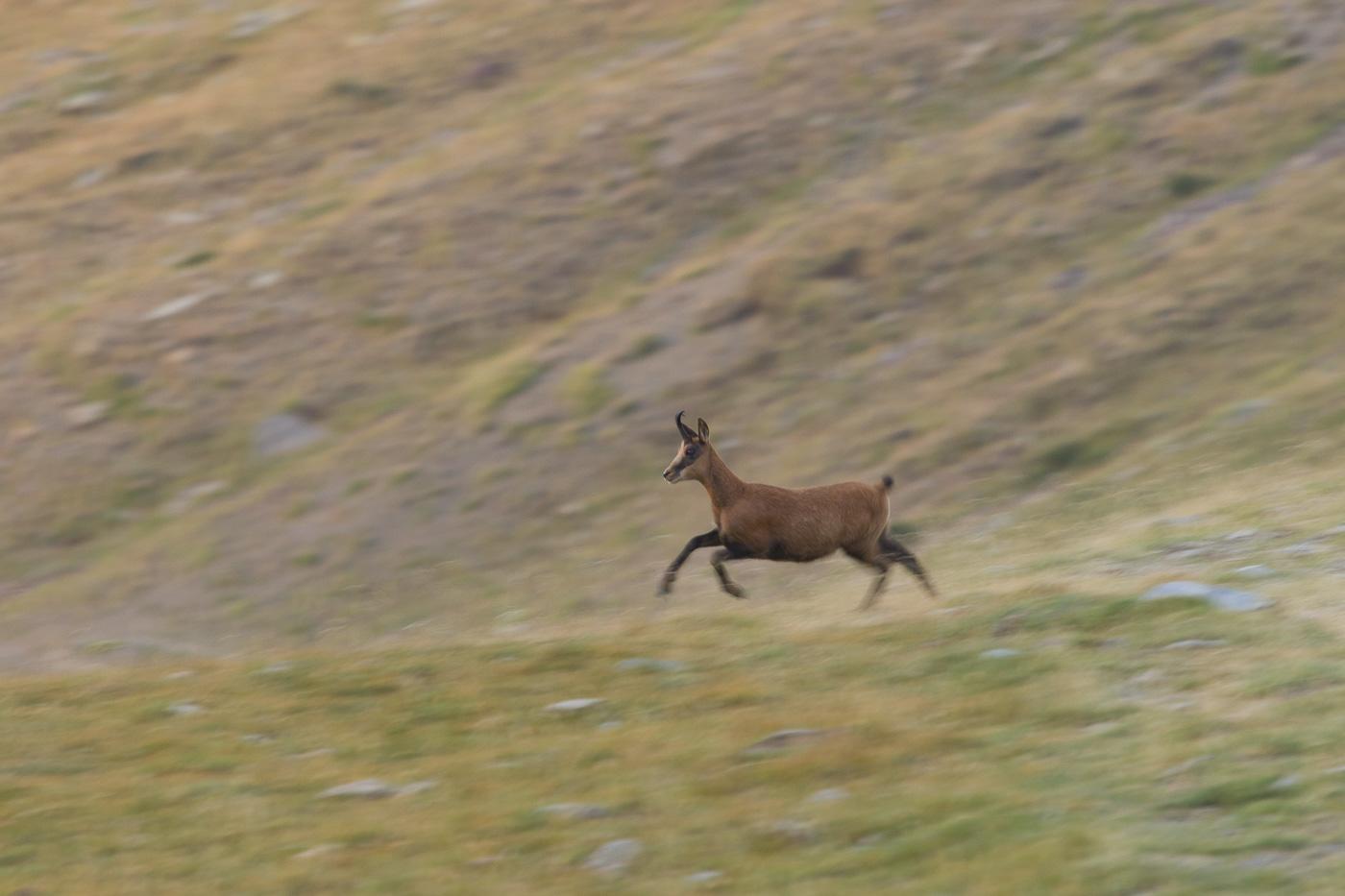 Isard - Fauna salvatge - Raül Carmona - Fotografia, Fotografia d'estudi, esdeveniments i Natura