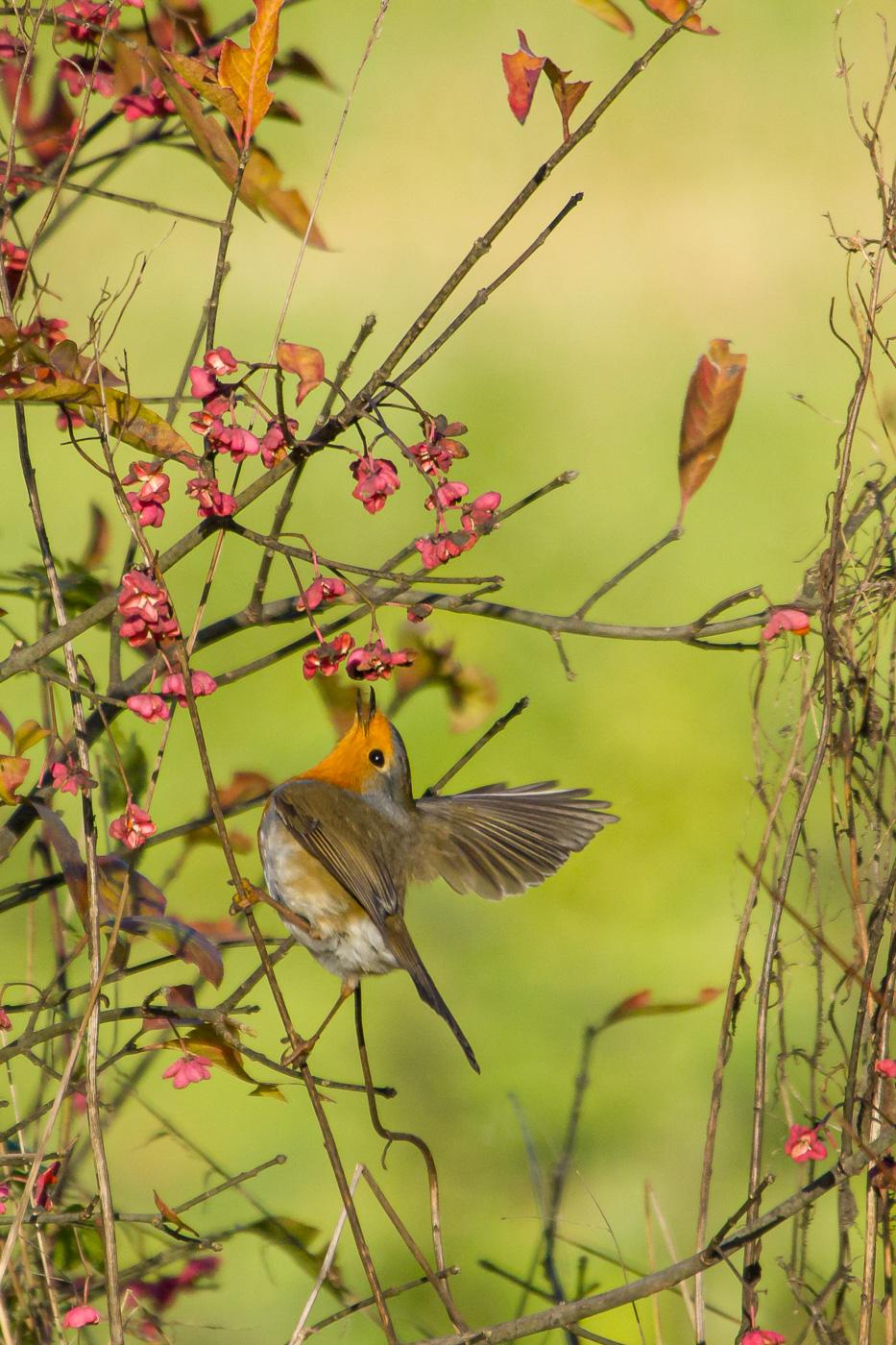Pit-roig menjant evònim - Fauna salvatge - Raül Carmona - Fotografia, Fotografia d'estudi, esdeveniments i Natura