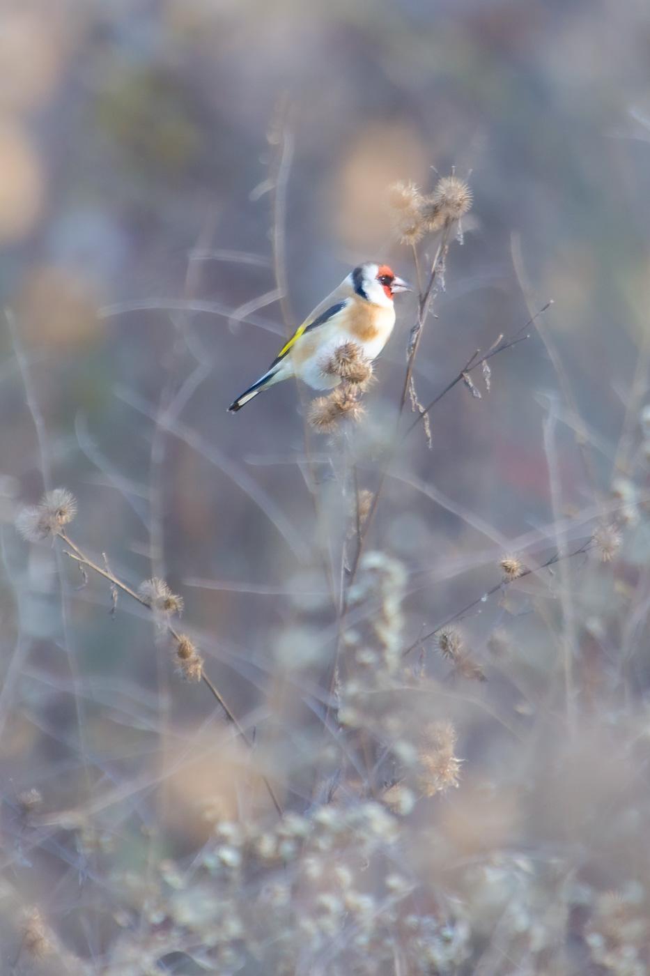 Cadernera - Fauna salvatge - Raül Carmona - Fotografia, Fotografia d'estudi, esdeveniments i Natura