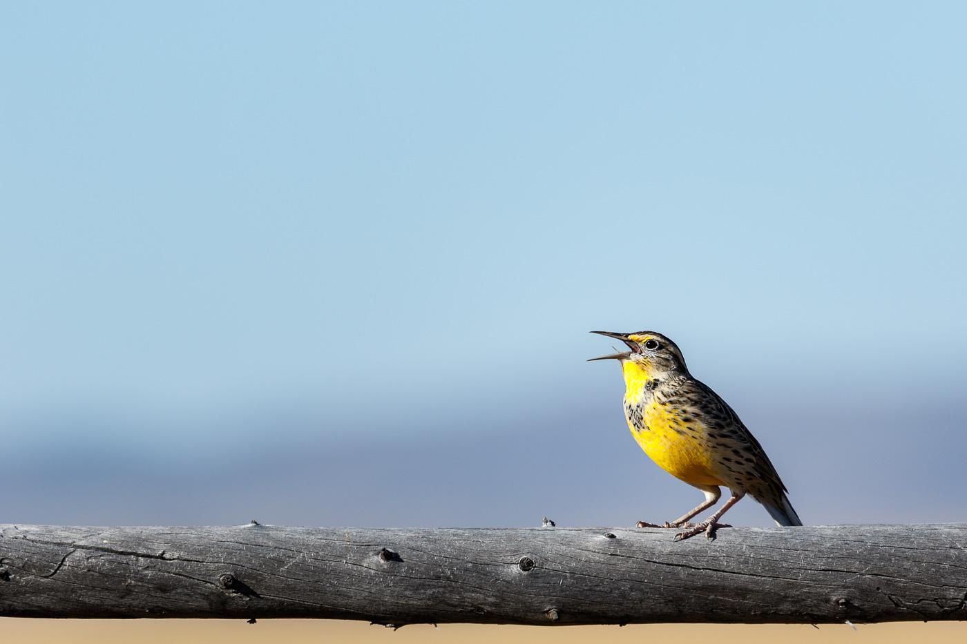Western Meadowlark (Sturnella neglecta), Utah, U.S.A. - Fauna de Nord-Amèrica - Raül Carmona - Fotografia, Fotografia d'estudi, esdeveniments i Natura