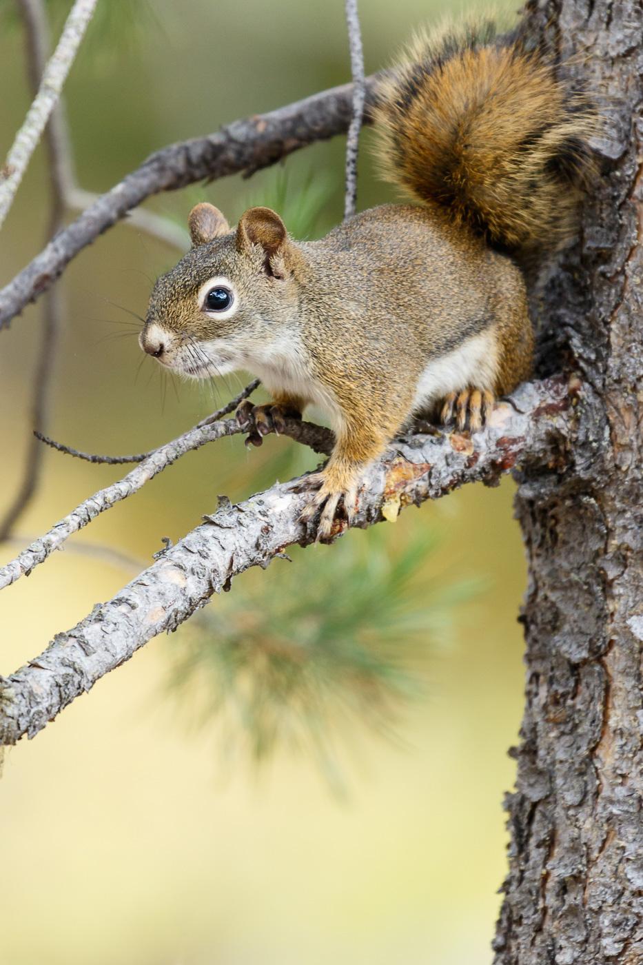 Red Squirrel (Tamiasciurus hudsonicus), Grand Teton National Park, U.S.A. - Fauna de Nord-Amèrica - Raül Carmona - Fotografia, Fotografia d'estudi, esdeveniments i Natura