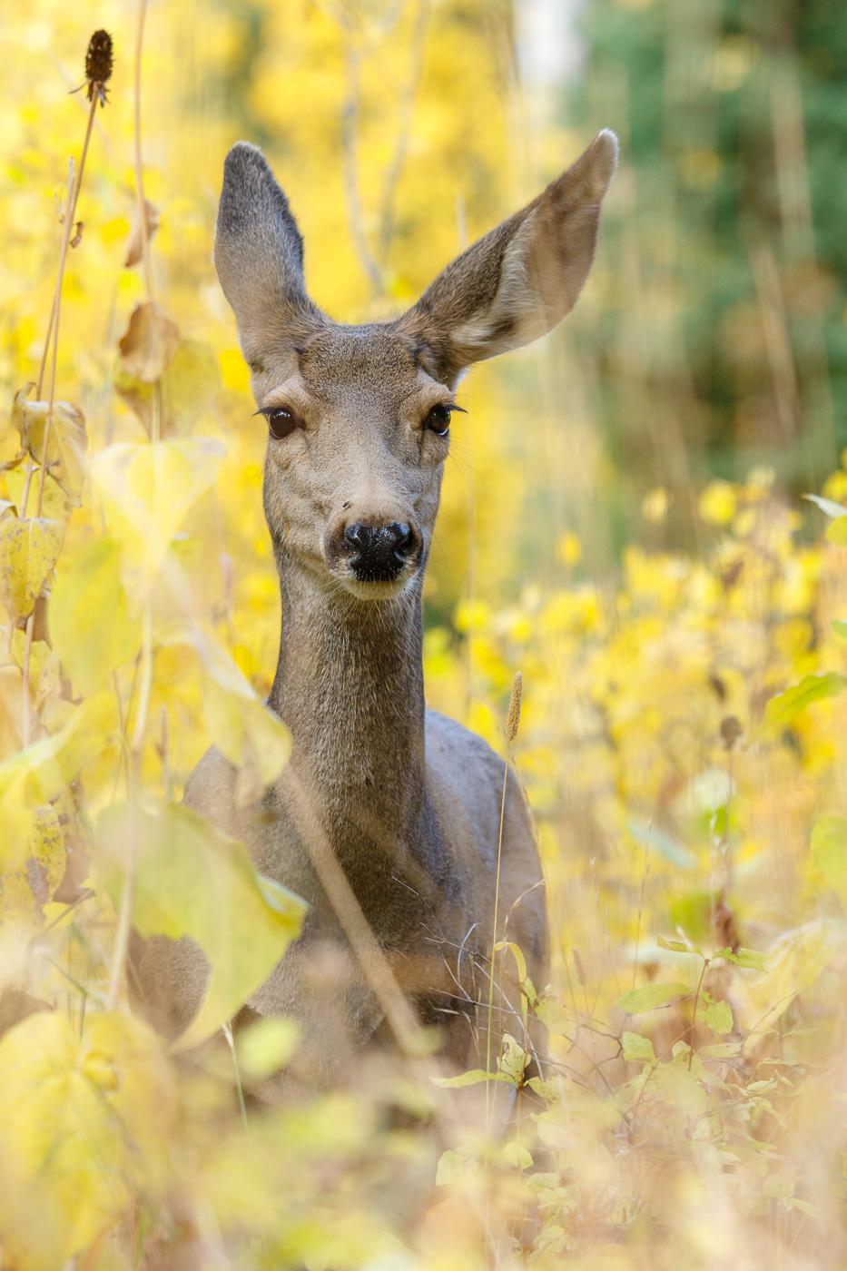 Mule Deer (Odocoileus hemionus), Grand Teton National Park, U.S.A. - Fauna de Nord-Amèrica - Raül Carmona - Fotografia, Fotografia d'estudi, esdeveniments i Natura