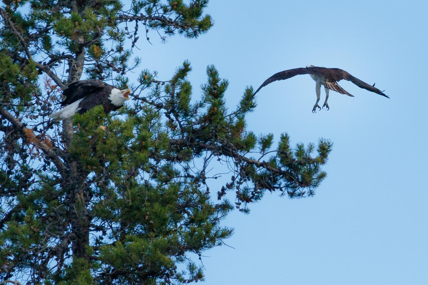 A bald Eagle (Haliaeetus lecocephalus) and an osprey (Pandion haliaetus), Grand Teton National Park, U.S.A. - Fauna de Nord-Amèrica - Raül Carmona - Fotografia, Fotografia d'estudi, esdeveniments i Natura