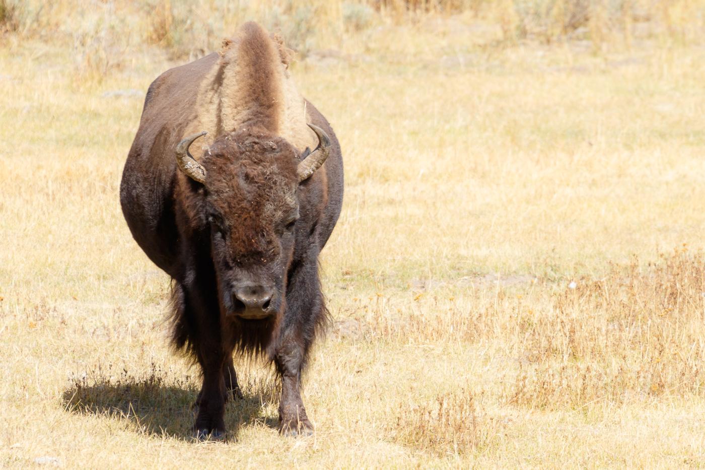 Bison (Bison bison), Yellowstone National Park, U.S.A. - Fauna de Nord-Amèrica - Raül Carmona - Fotografia, Fotografia d'estudi, esdeveniments i Natura