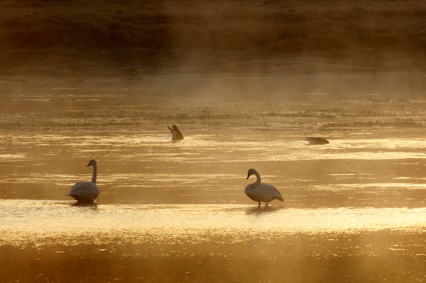 Trumpeter Swan (Cygnus buccinatur), Yellowstone National Park, U.S.A. - Fauna de Nord-Amèrica - Raül Carmona - Fotografia, Fotografia d'estudi, esdeveniments i Natura