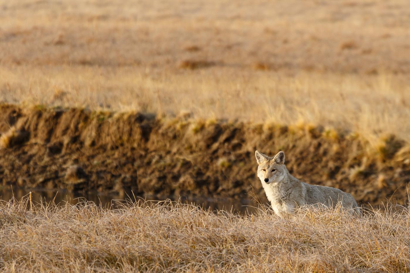Coyote (Canis latrans), Yellowstone National Park, U.S.A. - Fauna de Nord-Amèrica - Raül Carmona - Fotografia, Fotografia d'estudi, esdeveniments i Natura