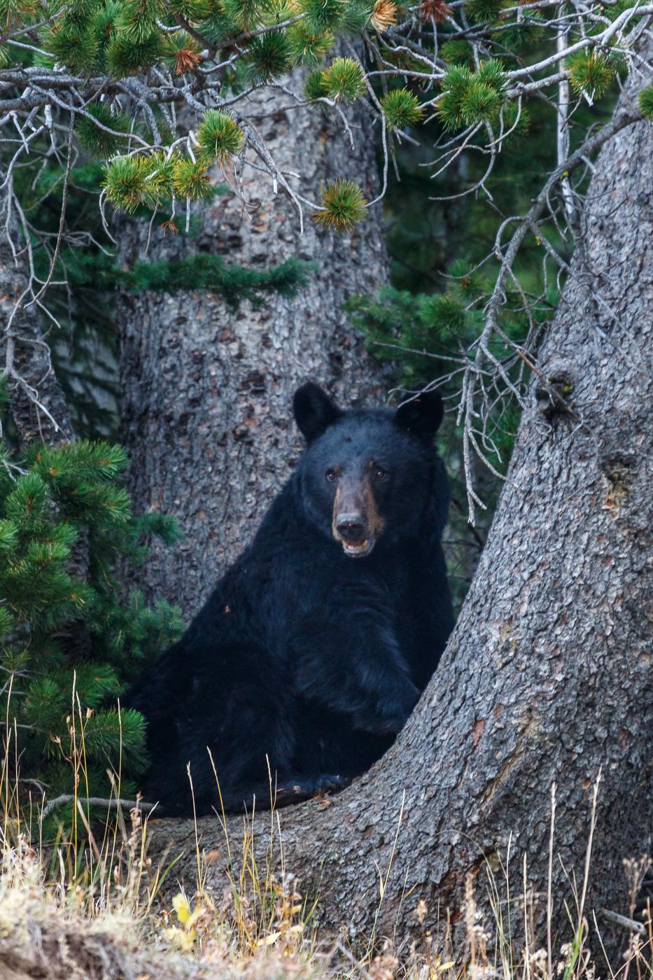 Black Bear (Ursus americanus), Yellowstone National Park, U.S.A. - Fauna de Nord-Amèrica - Raül Carmona - Fotografia, Fotografia d'estudi, esdeveniments i Natura