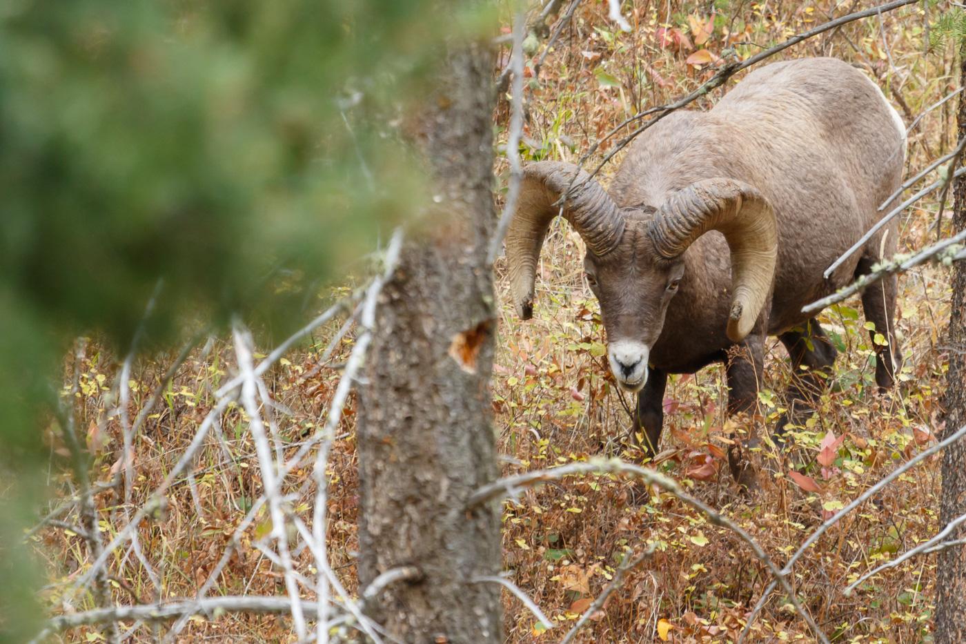Bighorn sheep (Ovis canadensis), Yellowstone National Park, U.S.A. - Fauna de Nord-Amèrica - Raül Carmona - Fotografia, Fotografia d'estudi, esdeveniments i Natura