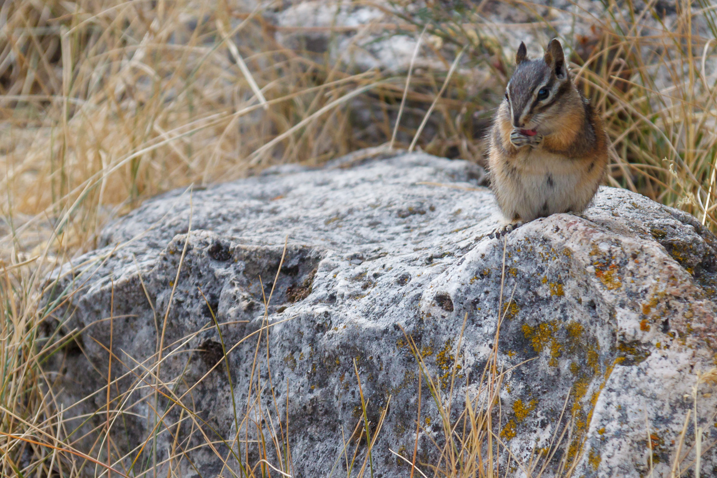 Uinta chipmunk (Neotamias umbrinus), Yellowstone National Park, U.S.A. - Fauna de Nord-Amèrica - Raül Carmona - Fotografia, Fotografia d'estudi, esdeveniments i Natura