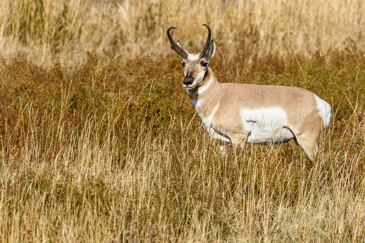 Pronghorn (Antilocapra americana), Yellowstone National Park, U.S.A. - Fauna de Nord-Amèrica - Raül Carmona - Fotografia, Fotografia d'estudi, esdeveniments i Natura