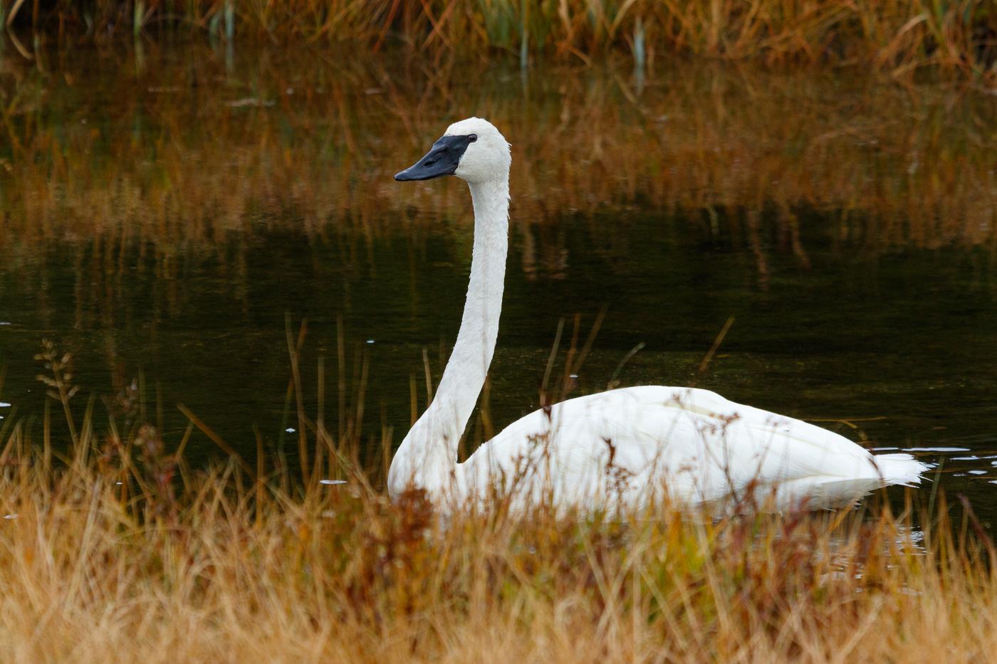 Trumpeter swan (Cygnus buccinator), Yellowstone National Park, U.S.A. - Fauna de Nord-Amèrica - Raül Carmona - Fotografia, Fotografia d'estudi, esdeveniments i Natura