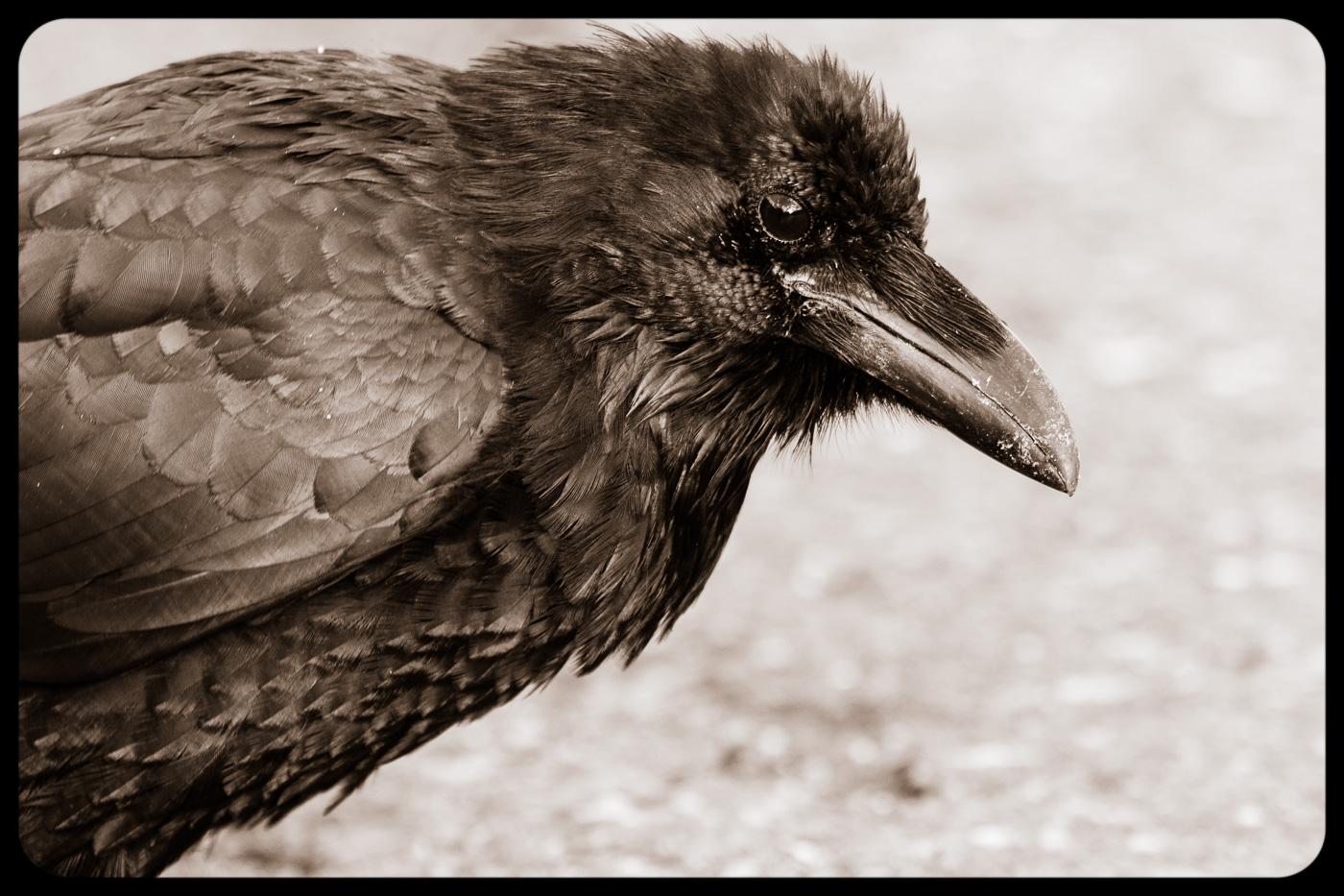 Common Raven (Corvus corax), Kootenay National Park, Canada. - Fauna de Nord-Amèrica - Raül Carmona - Fotografia, Fotografia d'estudi, esdeveniments i Natura
