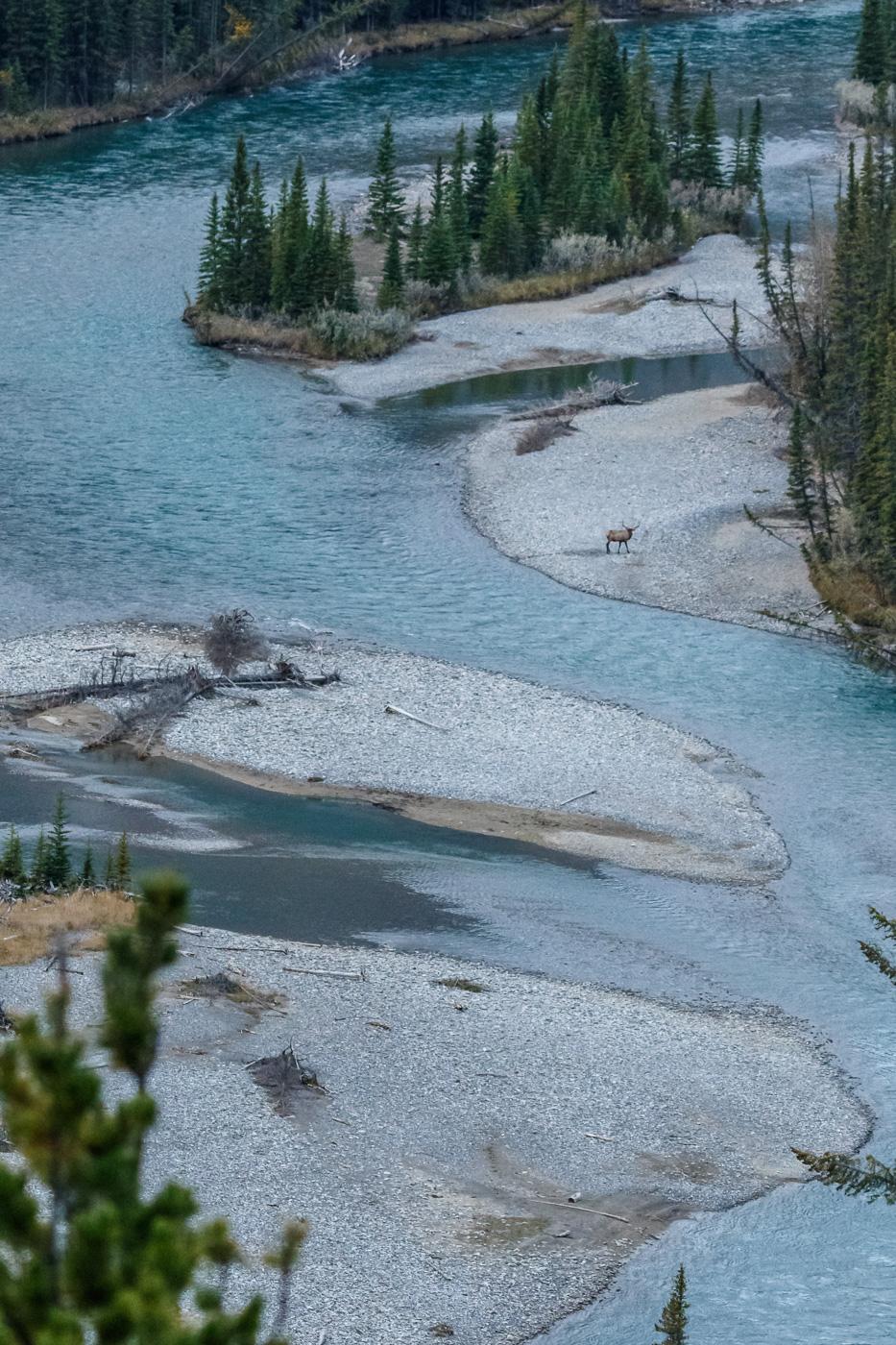 Elk (Cervus elaphus), Banff National Park, Canada. - Fauna de Nord-Amèrica - Raül Carmona - Fotografia, Fotografia d'estudi, esdeveniments i Natura