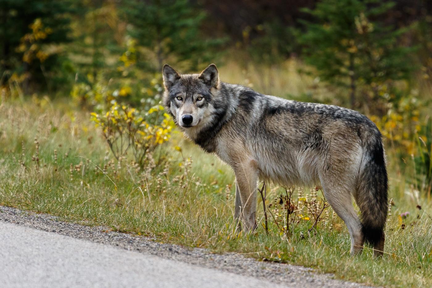 Wolf (Canis lupus), Banff National Park, Canada. - Fauna de Nord-Amèrica - Raül Carmona - Fotografia, Fotografia d'estudi, esdeveniments i Natura
