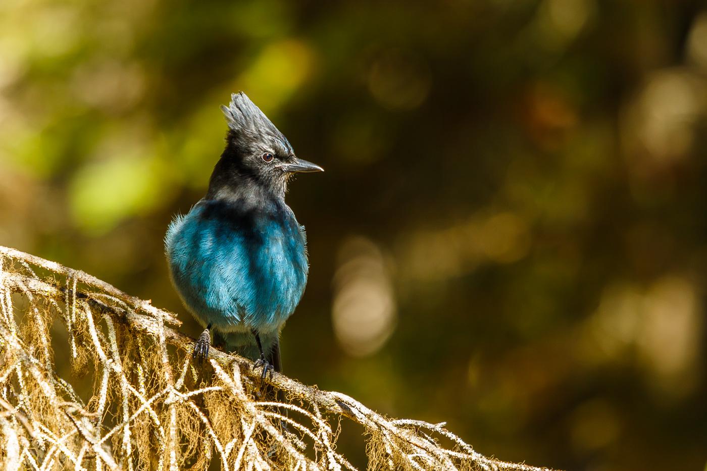 Steller's Jay (Cyanocitta stelleri), Yoho National Park, Canada. - Fauna de Nord-Amèrica - Raül Carmona - Fotografia, Fotografia d'estudi, esdeveniments i Natura