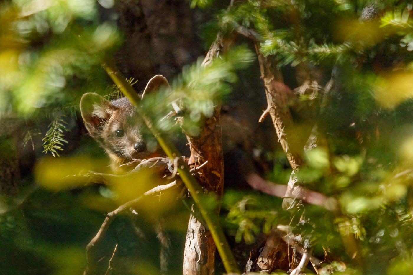 Marten (Martes americana), Yoho National Park, Canada. - Fauna de Nord-Amèrica - Raül Carmona - Fotografia, Fotografia d'estudi, esdeveniments i Natura