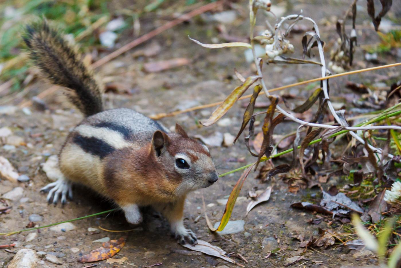 Golden-mantled Ground Squirrel (Spermophilus lateralis), Alberta, Canada. - Fauna de Nord-Amèrica - Raül Carmona - Fotografia, Fotografia d'estudi, esdeveniments i Natura