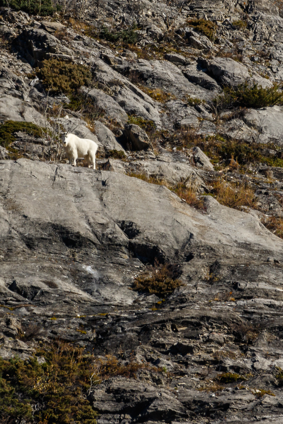 Mountain Goat (Oreamnos americanus), Alberta, Canada. - Fauna de Nord-Amèrica - Raül Carmona - Fotografia, Fotografia d'estudi, esdeveniments i Natura
