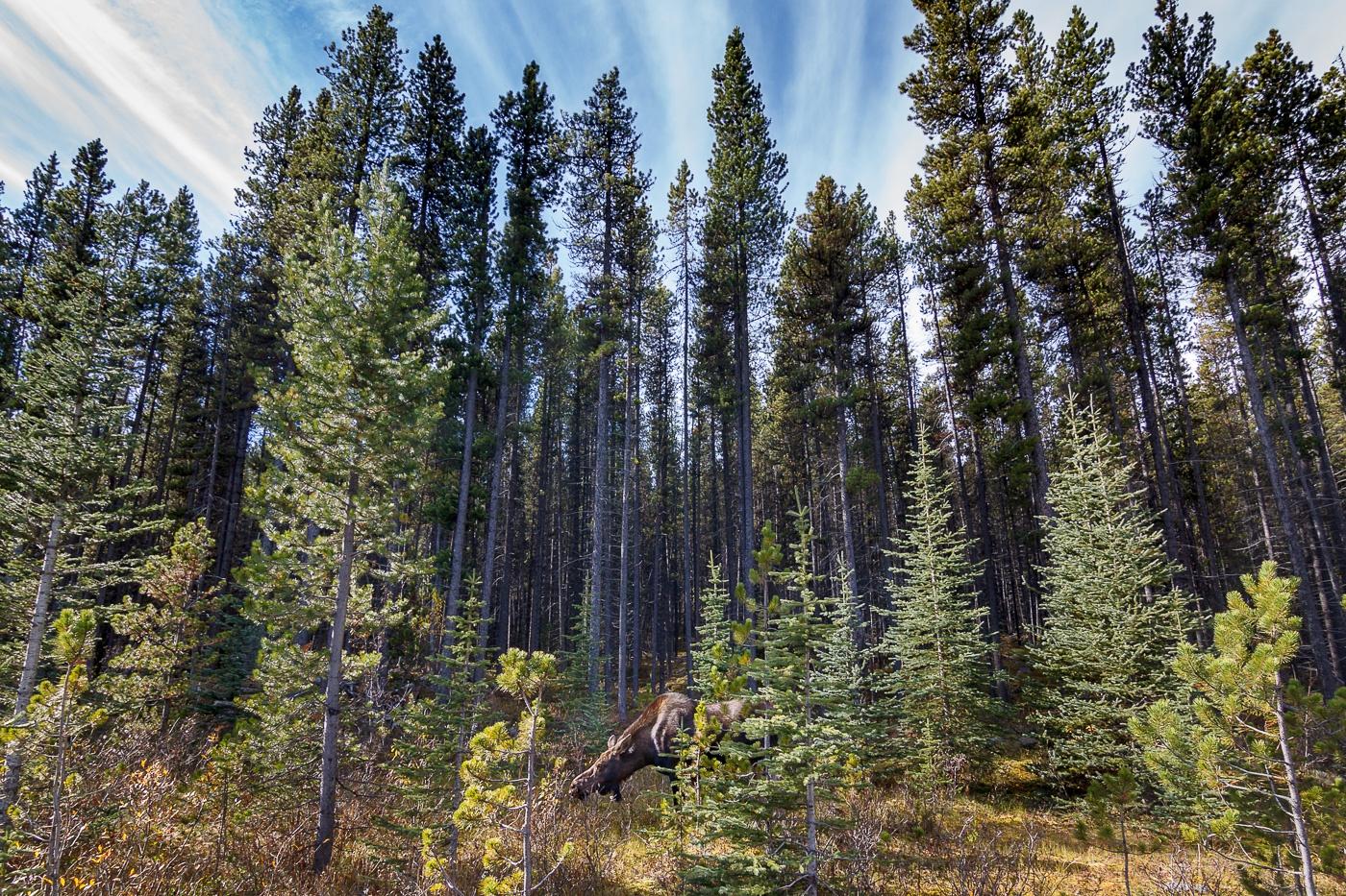 Moose (Alces alces), Jasper National Park, Canada. - Fauna de Nord-Amèrica - Raül Carmona - Fotografia, Fotografia d'estudi, esdeveniments i Natura