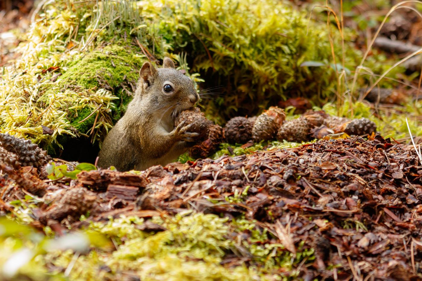 Red Squirrel (Tamiasciurus hudsonicus), Jasper National Park, Canada. - Fauna de Nord-Amèrica - Raül Carmona - Fotografia, Fotografia d'estudi, esdeveniments i Natura