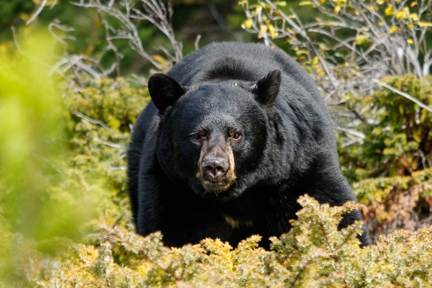 Black Bear (Ursus americanus), Jasper National Park, Canada. - Fauna de Nord-Amèrica - Raül Carmona - Fotografia, Fotografia d'estudi, esdeveniments i Natura