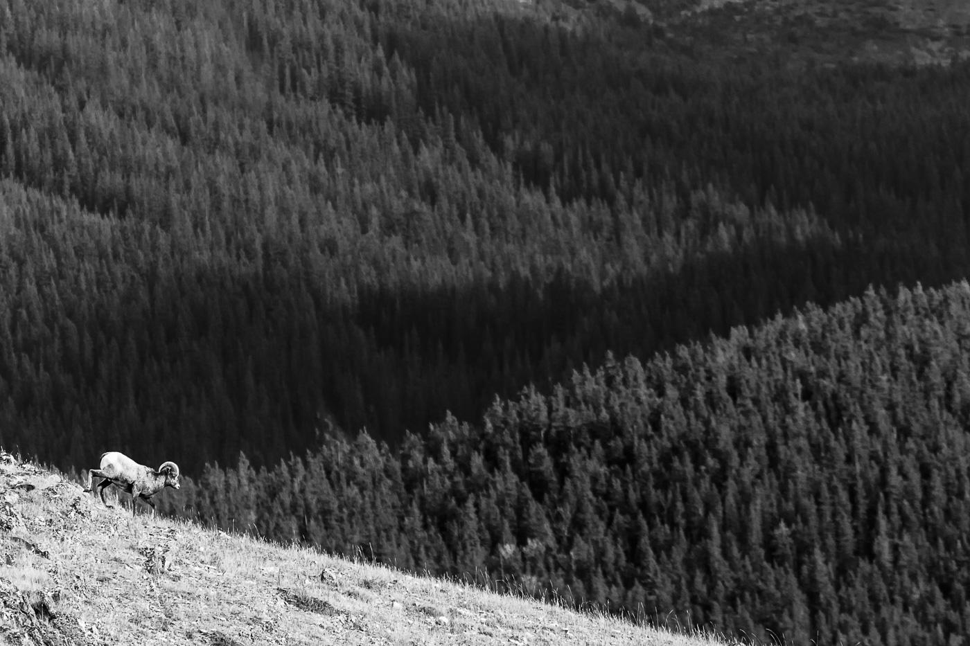 Bighorn Sheep (Ovis canadiensis), Jasper National Park, Canada. - Fauna de Nord-Amèrica - Raül Carmona - Fotografia, Fotografia d'estudi, esdeveniments i Natura
