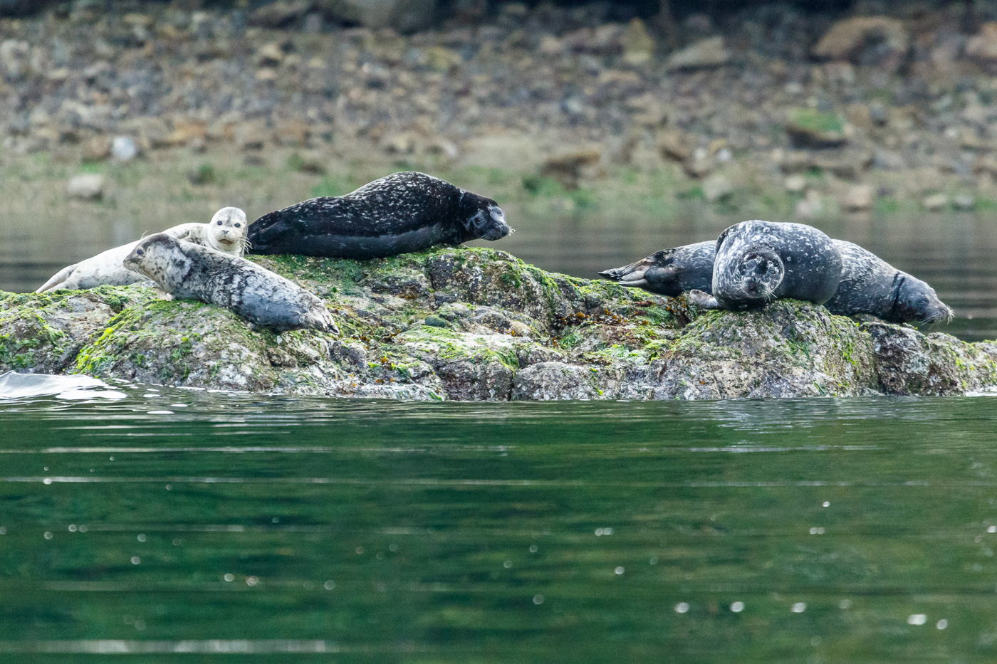 Harbour seal (Phoca vitulina), Vancouver island, Canada. - Fauna de Nord-Amèrica - Raül Carmona - Fotografia, Fotografia d'estudi, esdeveniments i Natura