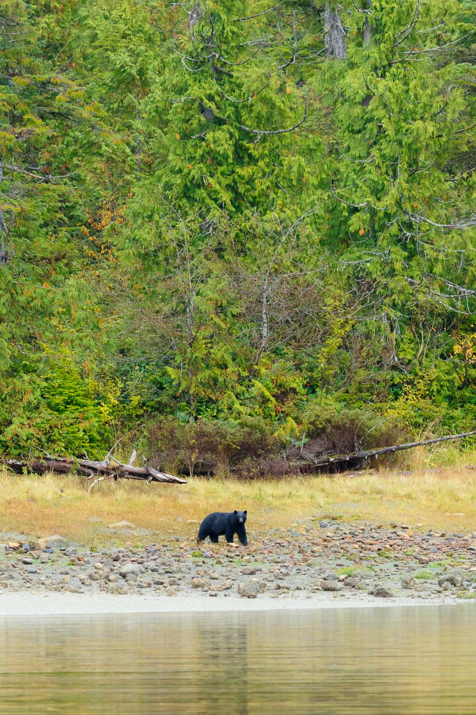 Black Bear (Ursus americanus), Vancouver island, Canada. - Fauna de Nord-Amèrica - Raül Carmona - Fotografia, Fotografia d'estudi, esdeveniments i Natura
