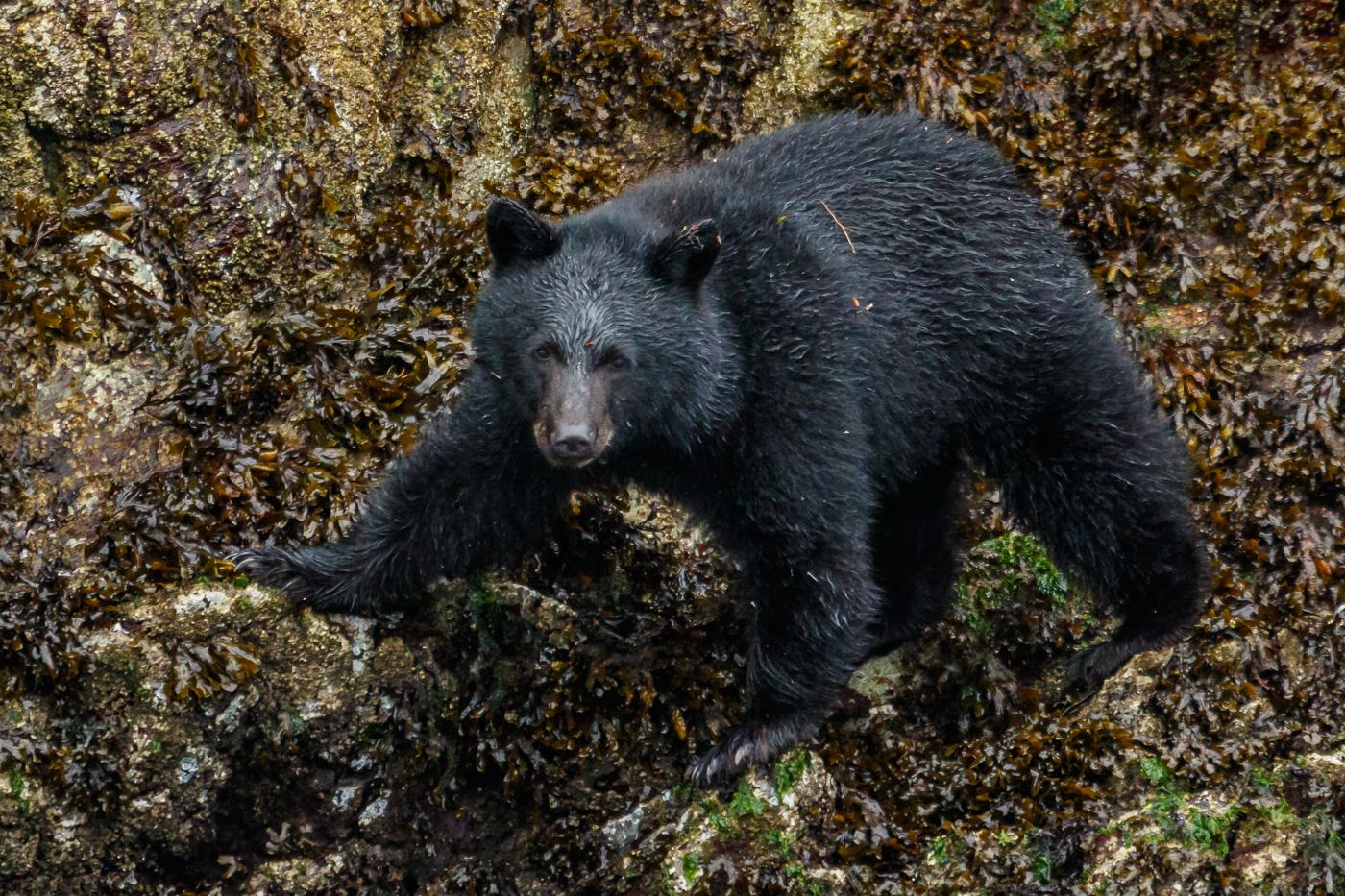 Young black Bear (Ursus americanus), Vancouver island, Canada. - Fauna de Nord-Amèrica - Raül Carmona - Fotografia, Fotografia d'estudi, esdeveniments i Natura