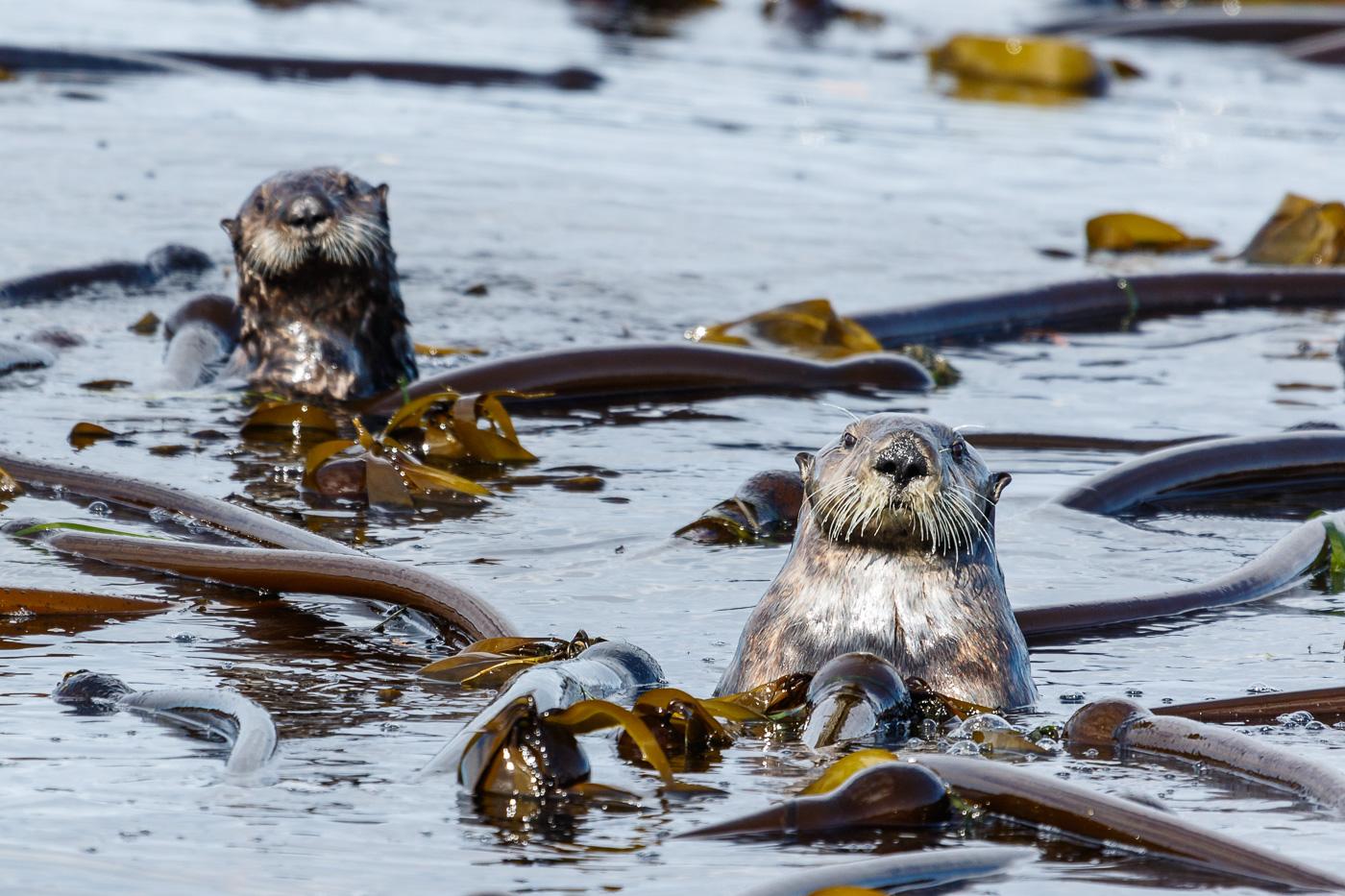 Sea Otter (Enhydra lutris), Vancouver island, Canada. - Fauna de Nord-Amèrica - Raül Carmona - Fotografia, Fotografia d'estudi, esdeveniments i Natura