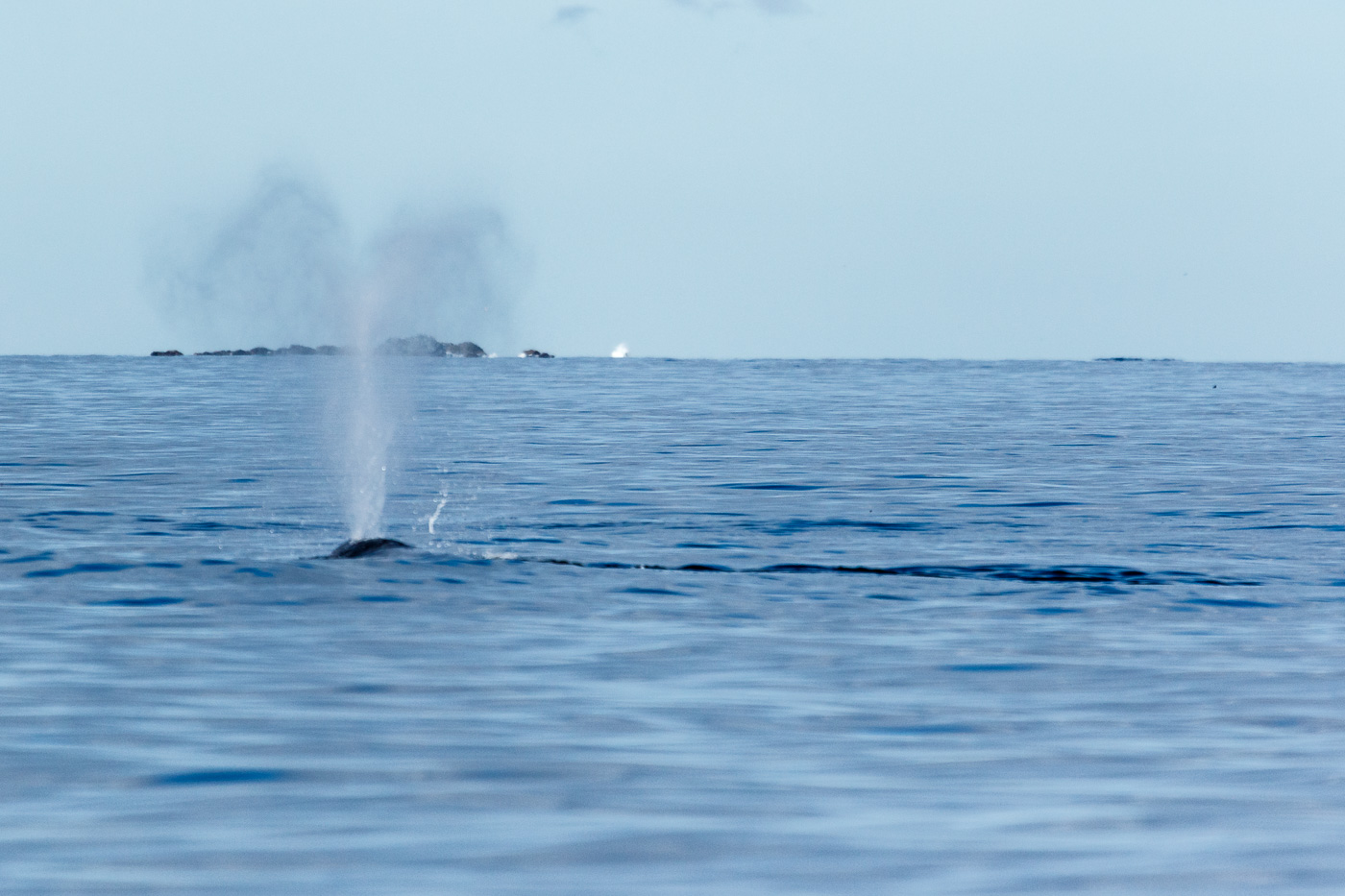 Gray Whale (Eschrichtius robustus), Vancouver island, Canada. - Fauna de Nord-Amèrica - Raül Carmona - Fotografia, Fotografia d'estudi, esdeveniments i Natura