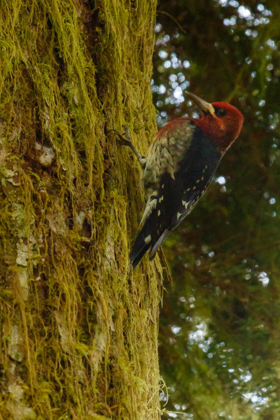 Red-breasted sapsucker (Sphyrapicus ruber), Vancouver island, Canada. - Fauna de Nord-Amèrica - Raül Carmona - Fotografia, Fotografia d'estudi, esdeveniments i Natura