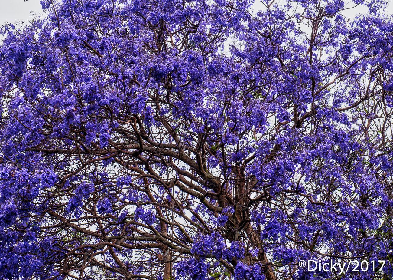 Arbol de Jacaranda, Maui - Hawaii - Ricardo F. Simán, Fotografía