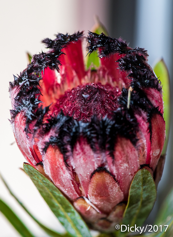 Protea Burchelli, Maui - Hawaii - Ricardo F. Simán, Fotografía