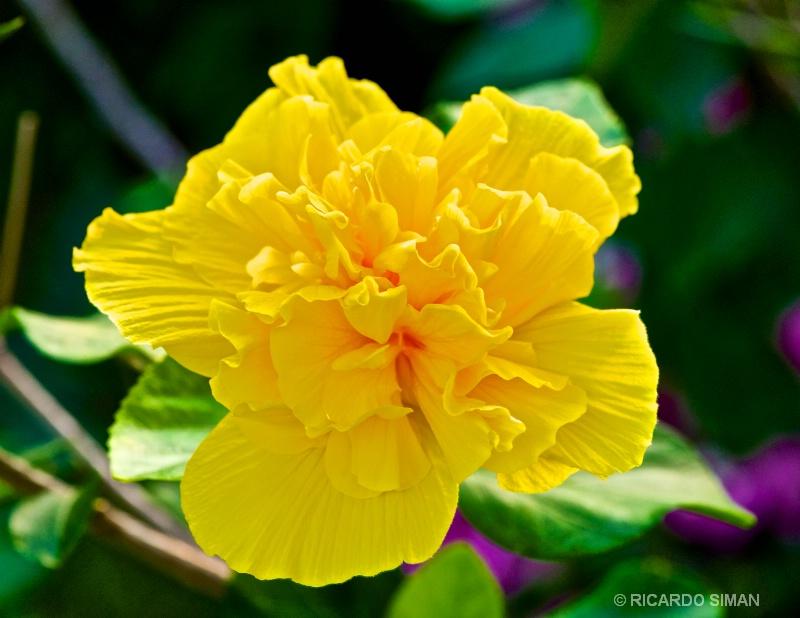 Tagetes Marigold - Flores - Ricardo Simán . Flores