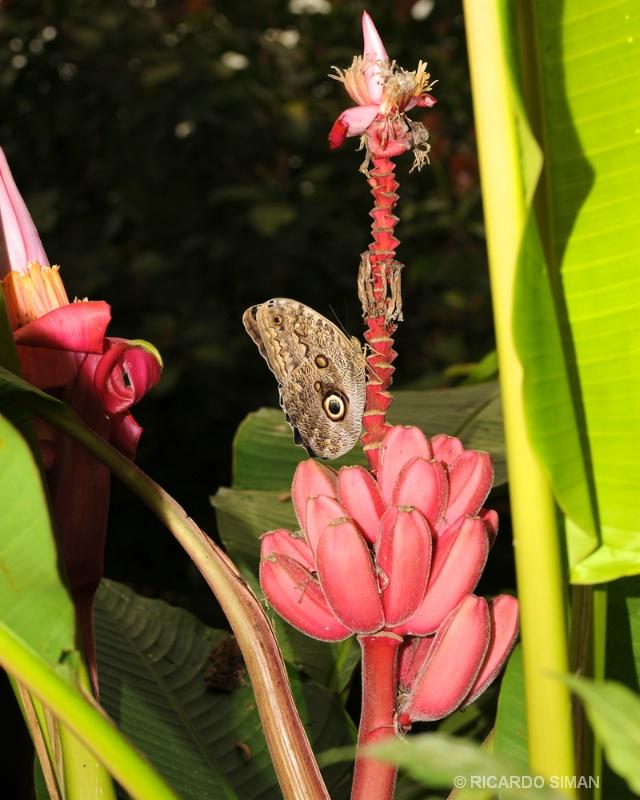 Mariposa en Monteverde - Costa Rica - Ricardo Simán . Costa Rica