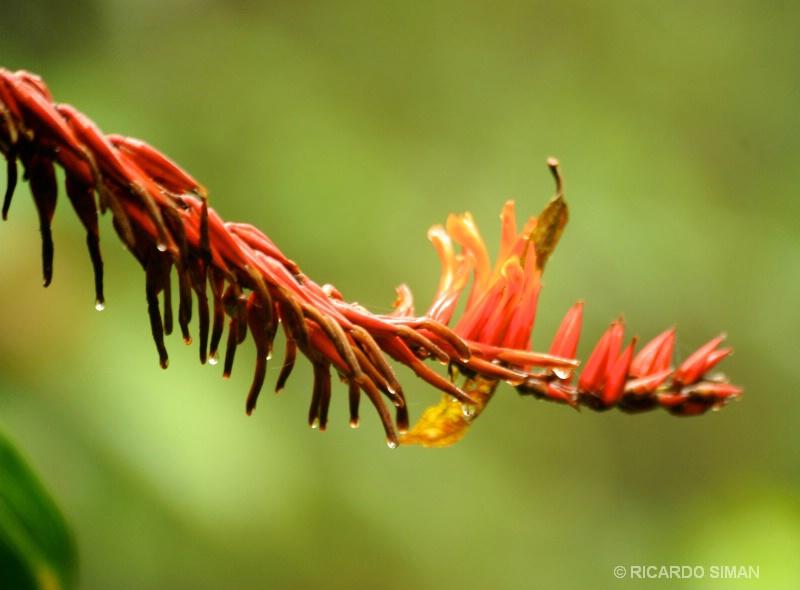 Reserva Monteverde en Costa Rica.  - Costa Rica - Ricardo Simán . Costa Rica